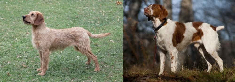 Styrian Coarse Haired Hound vs Brittany
