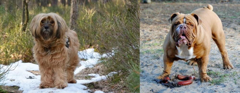 Tibetan Terrier vs Australian Bulldog
