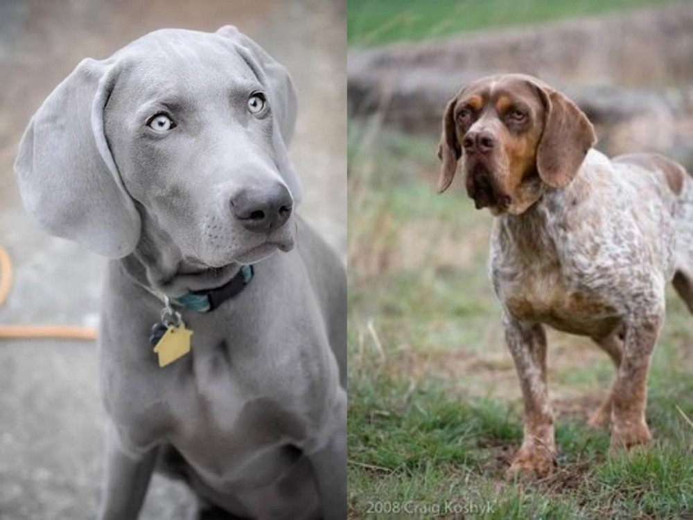 Weimaraner vs Spanish Pointer
