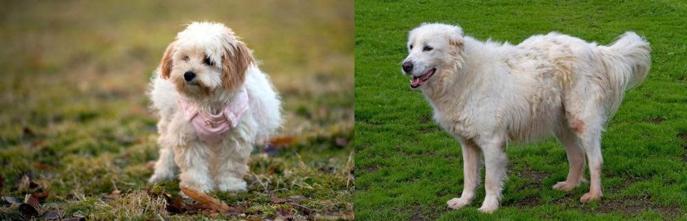 Abruzzenhund vs West Highland White Terrier