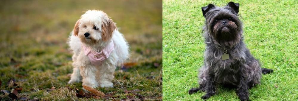 Affenpinscher vs West Highland White Terrier