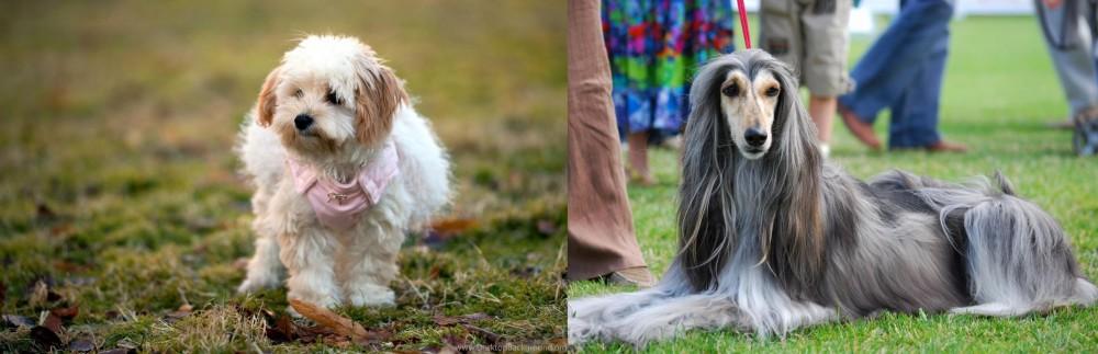 Afghan Hound vs West Highland White Terrier