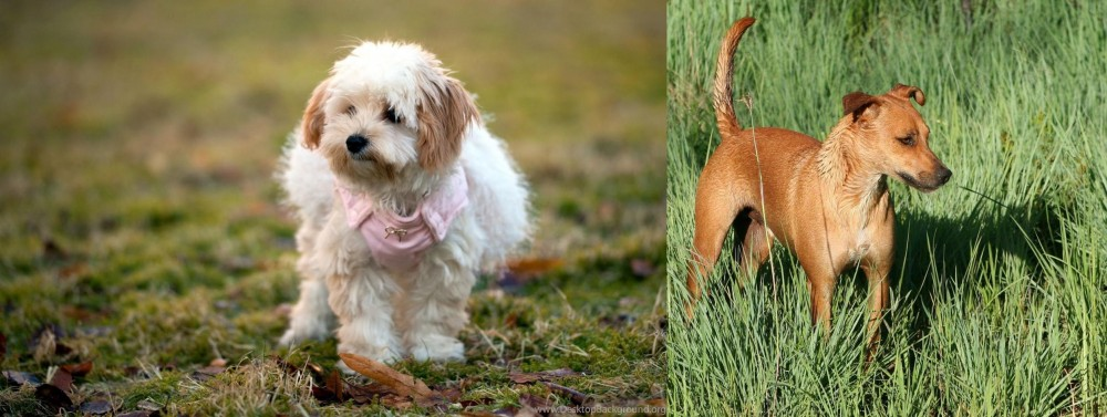 Africanis vs West Highland White Terrier