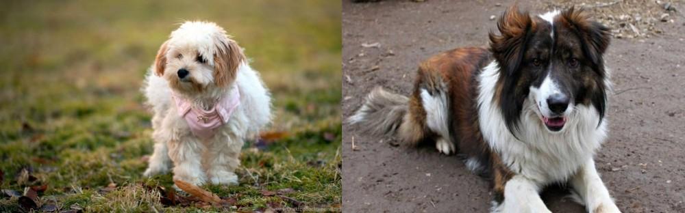 Aidi vs West Highland White Terrier