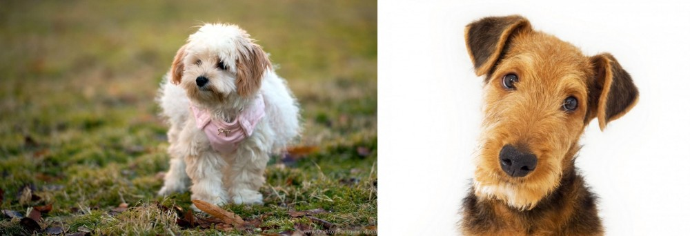 Airedale Terrier vs West Highland White Terrier