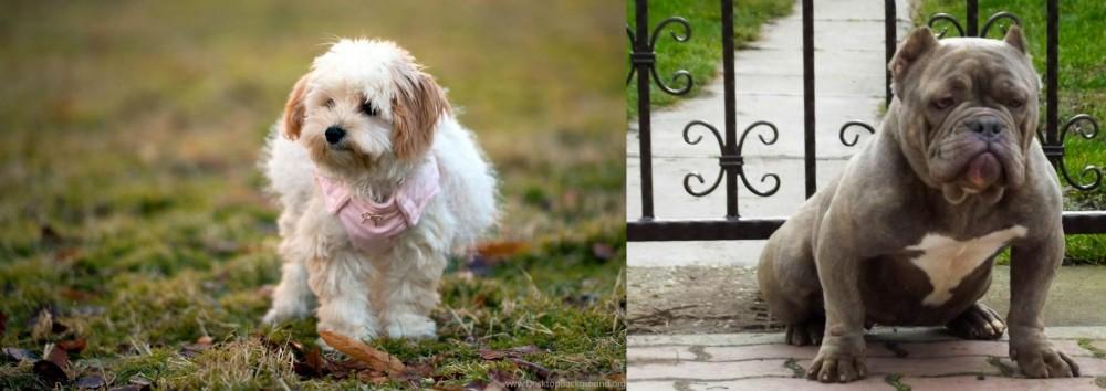 American Bully vs West Highland White Terrier