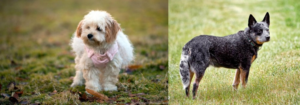 Austrailian Blue Heeler vs West Highland White Terrier