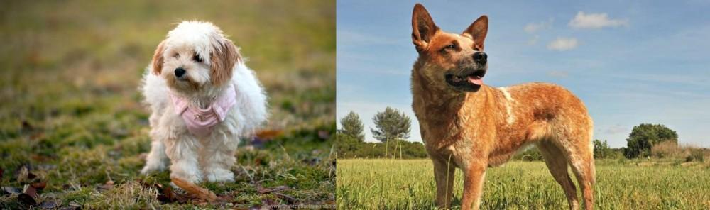Australian Red Heeler vs West Highland White Terrier