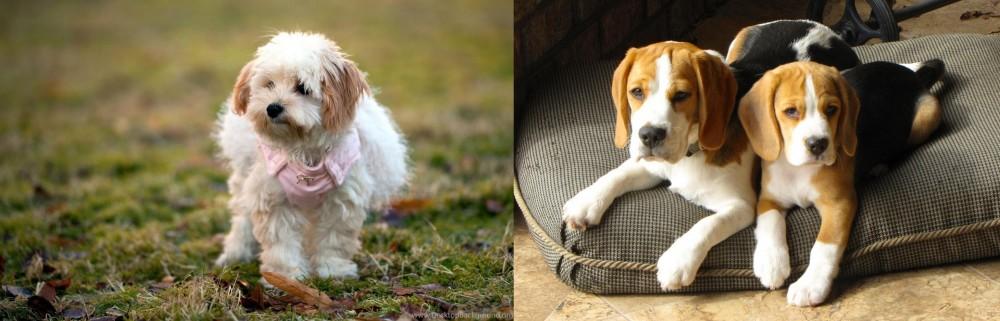 Beagle vs West Highland White Terrier