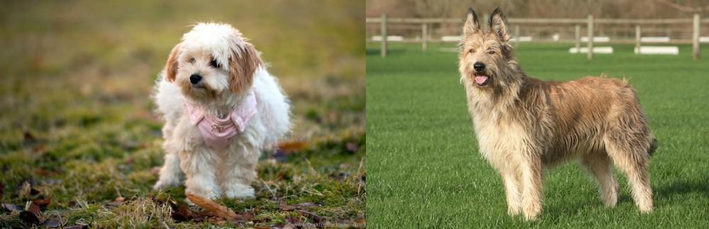 Berger Picard vs West Highland White Terrier