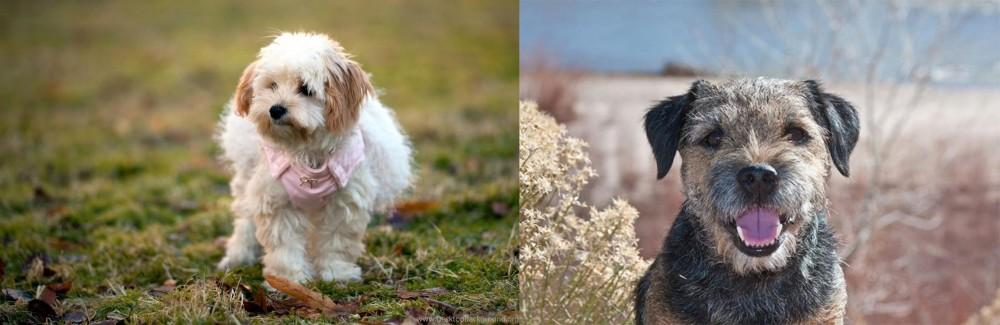Border Terrier vs West Highland White Terrier