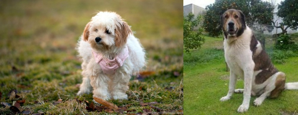 Cao de Gado Transmontano vs West Highland White Terrier