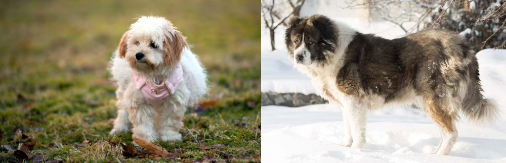 Caucasian Shepherd vs West Highland White Terrier