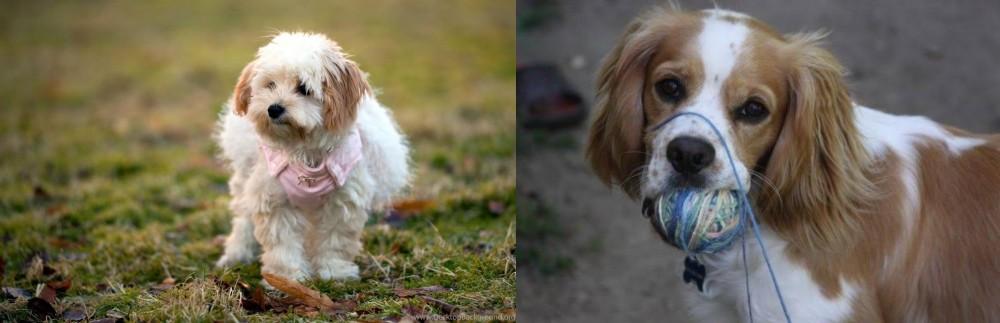Cockalier vs West Highland White Terrier