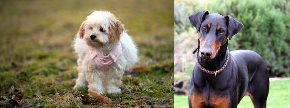Doberman Pinscher vs West Highland White Terrier