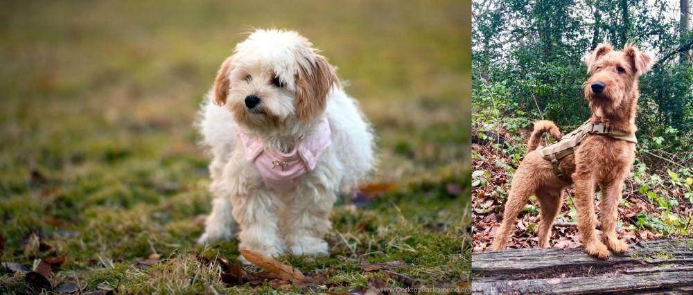 Irish Terrier vs West Highland White Terrier
