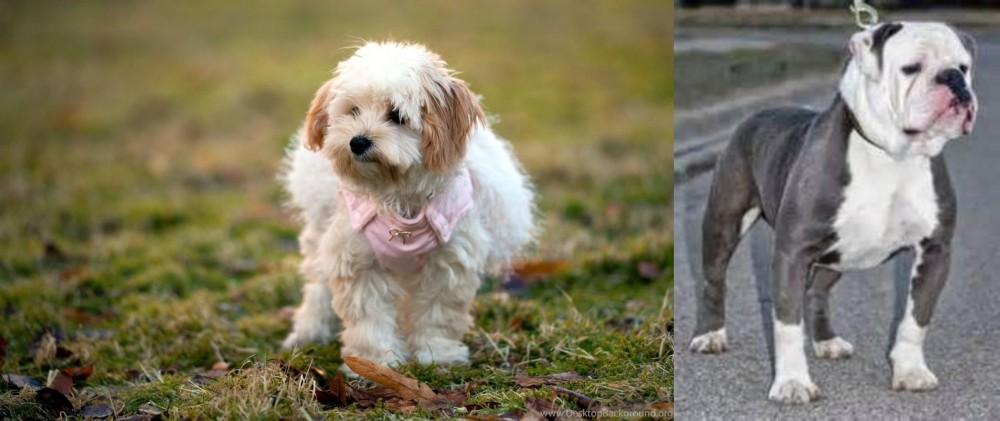 Old English Bulldog vs West Highland White Terrier