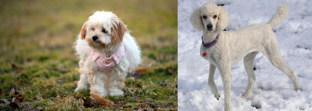 Poodle vs West Highland White Terrier