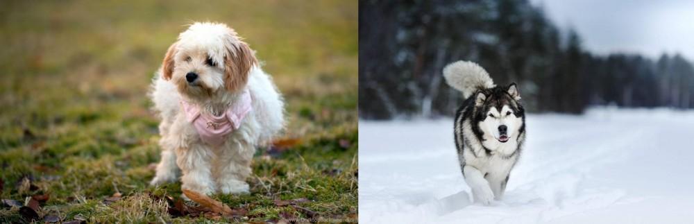Siberian Husky vs West Highland White Terrier