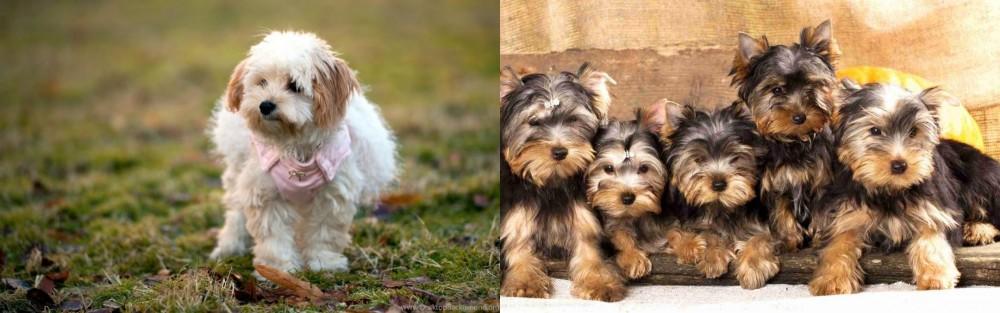 Yorkshire Terrier vs West Highland White Terrier