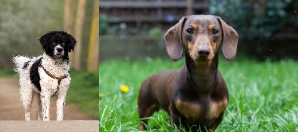 Wetterhoun vs Miniature Dachshund