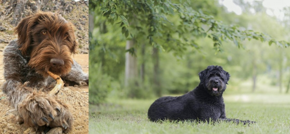 Wirehaired Pointing Griffon vs Bouvier des Flandres