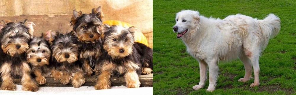 Abruzzenhund vs Yorkshire Terrier