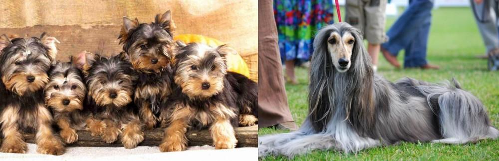Afghan Hound vs Yorkshire Terrier