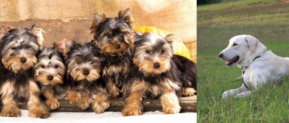 Akbash Dog vs Yorkshire Terrier