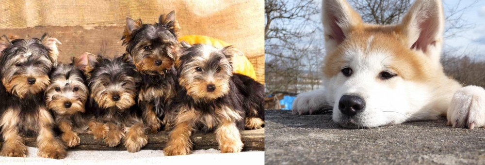 Akita vs Yorkshire Terrier