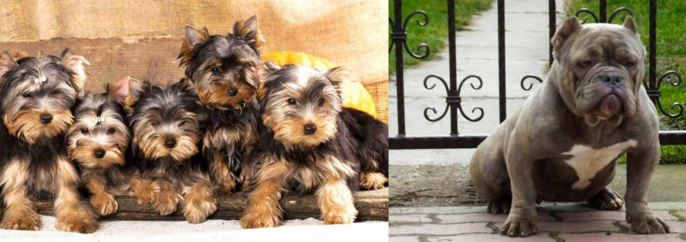 American Bully vs Yorkshire Terrier