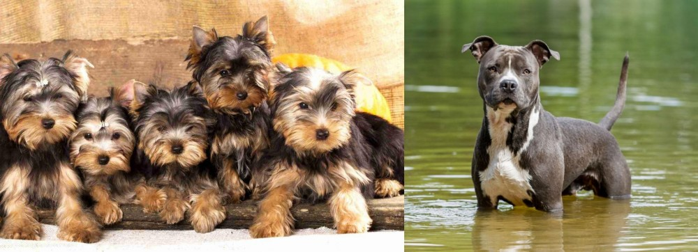 American Staffordshire Terrier vs Yorkshire Terrier