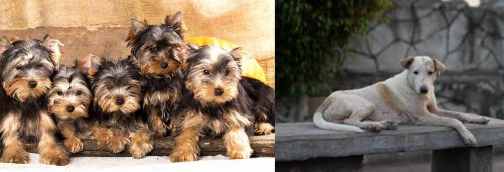 Askal vs Yorkshire Terrier
