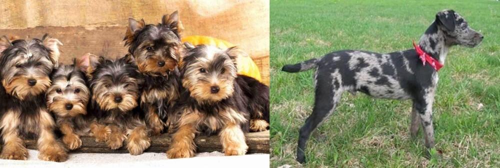 Atlas Terrier vs Yorkshire Terrier