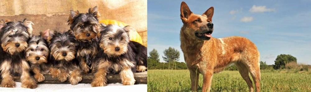 Australian Red Heeler vs Yorkshire Terrier