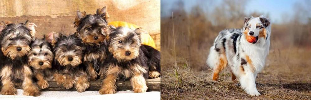 Australian Shepherd vs Yorkshire Terrier