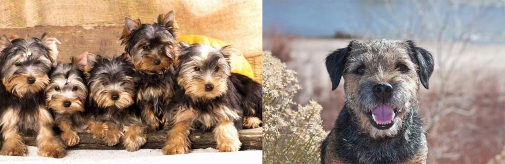 Border Terrier vs Yorkshire Terrier