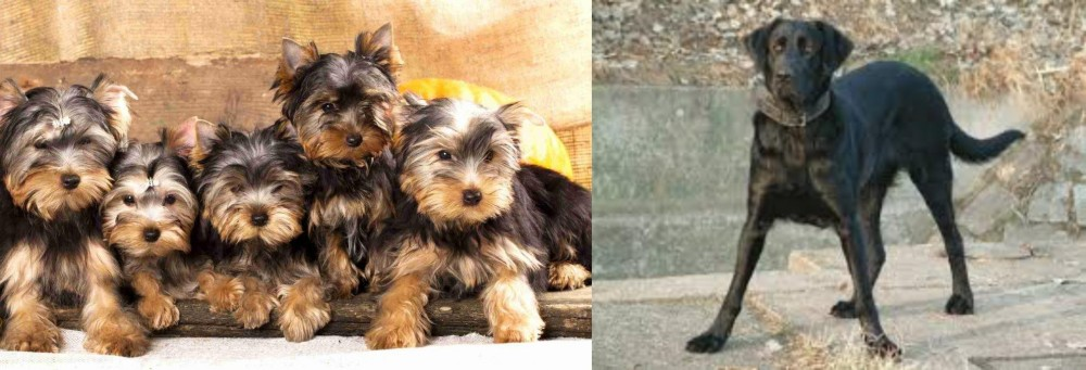 Cao de Castro Laboreiro vs Yorkshire Terrier