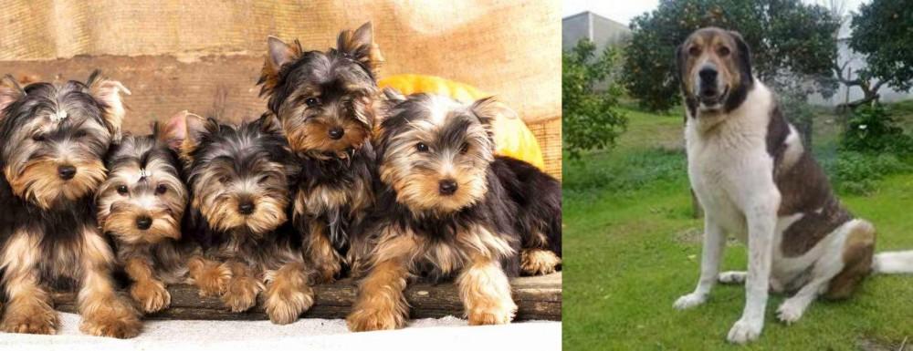 Cao de Gado Transmontano vs Yorkshire Terrier
