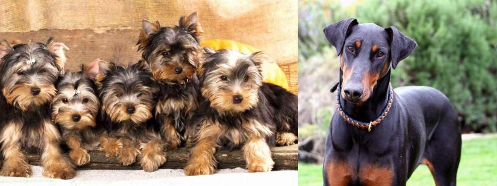 Doberman Pinscher vs Yorkshire Terrier