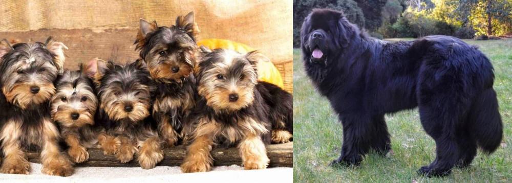 Newfoundland Dog vs Yorkshire Terrier