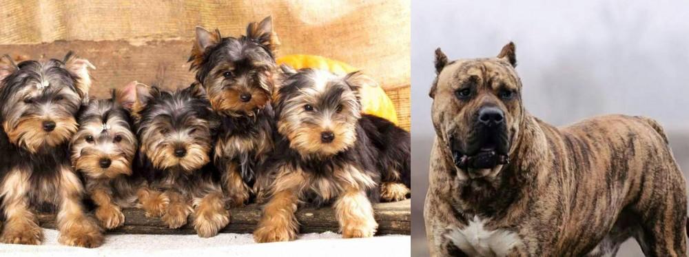 Perro de Presa Canario vs Yorkshire Terrier