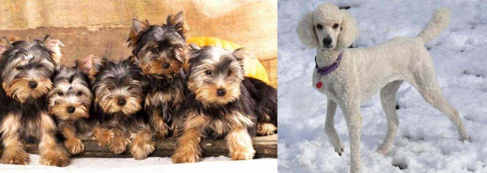 Poodle vs Yorkshire Terrier