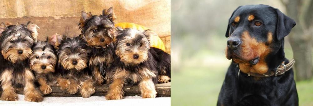 Rottweiler vs Yorkshire Terrier