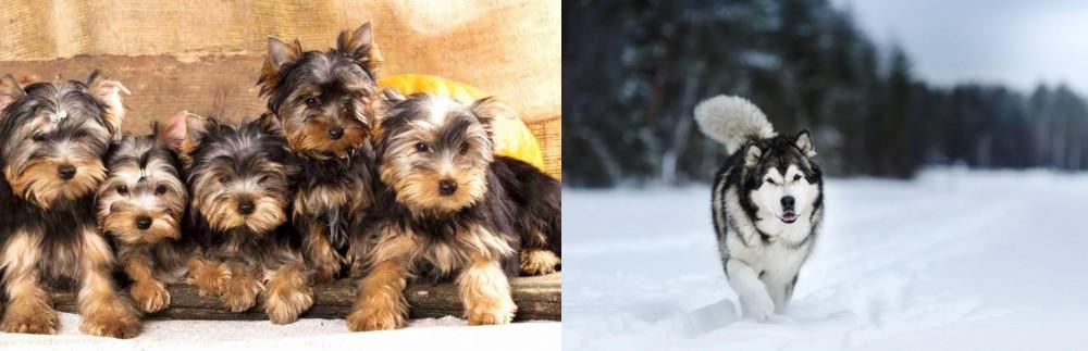 Siberian Husky vs Yorkshire Terrier