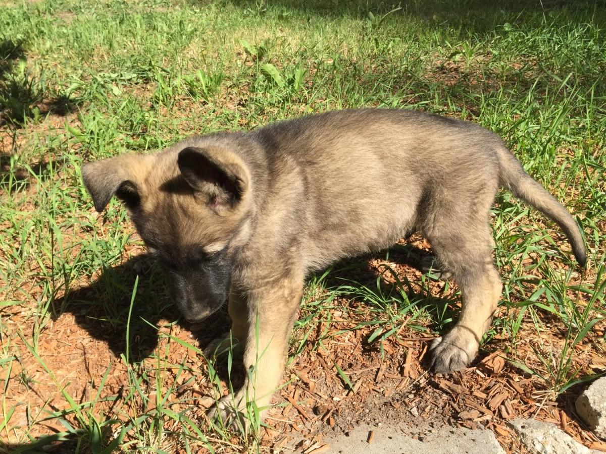 German Shepherd Puppies Sale   Price In Netherlands