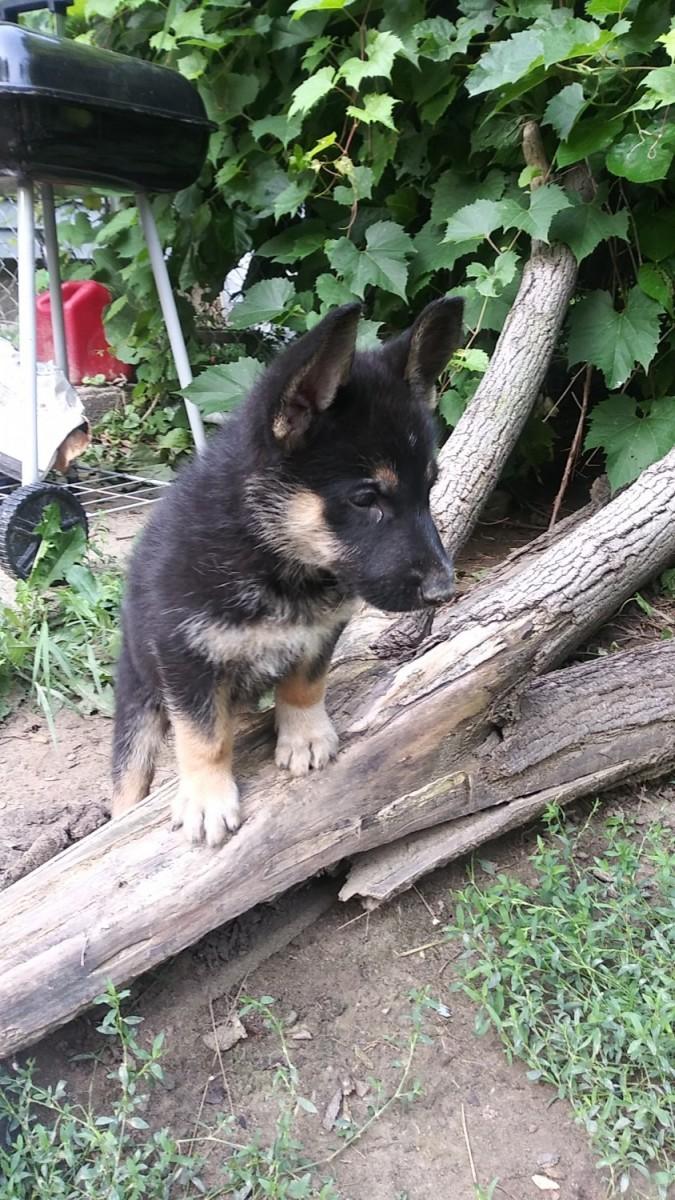 Yorkshire Terrier Sale New York | Hoobly US