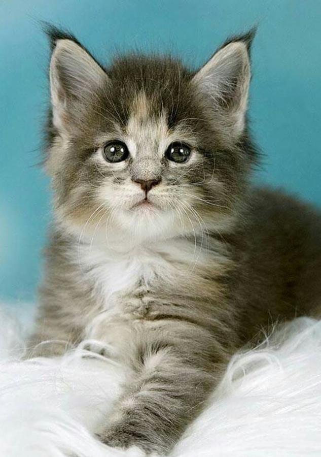 Maine Coon Cats Sale | Hattiesburg, MS #2360 | Hoobly.US