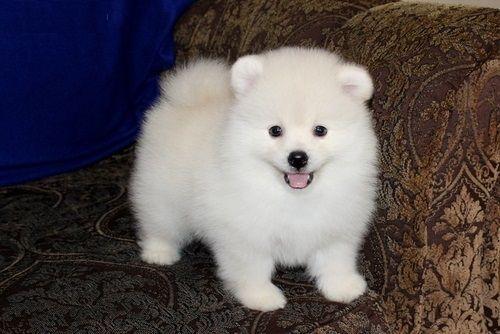 Pomeranian Puppies Sale Houston Tx 5452 Hooblyus