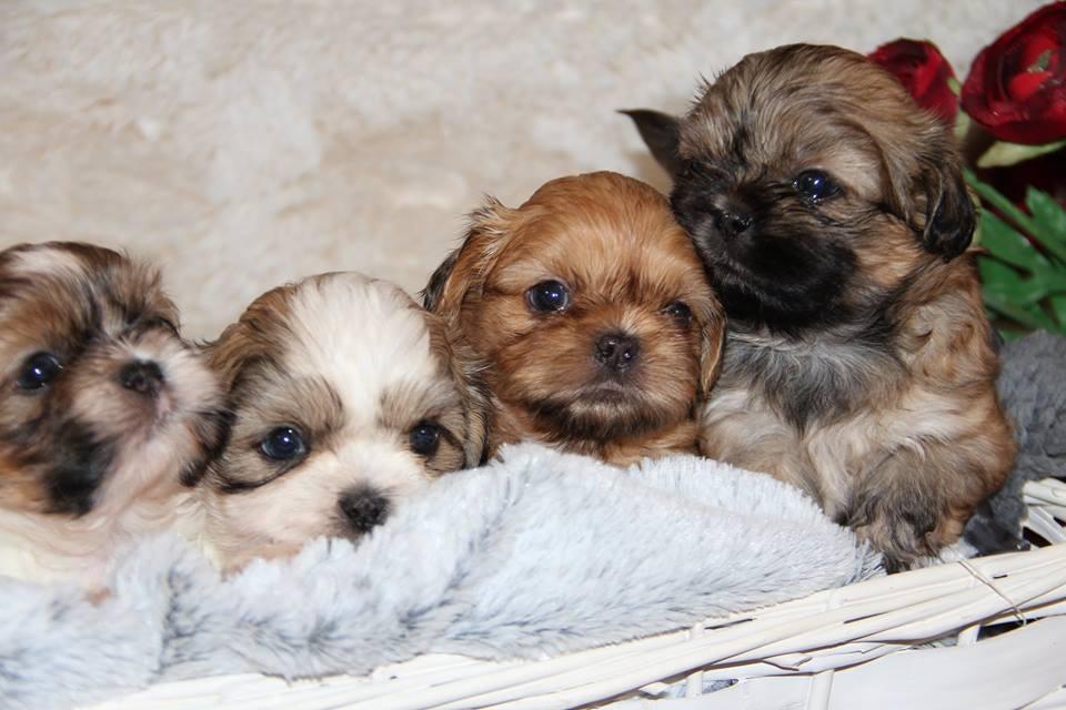 Buy Puppies For Sale Shih Tzu In England UK